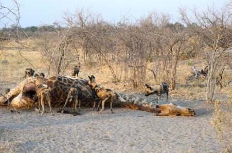 Hier hat ein Rudel Wildhundee einen toten Giraffen-Kadaver aufgespürt