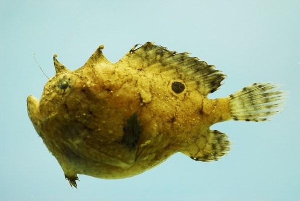 Die meisten Arten der Anglerfische gibt es im Indopazifik.