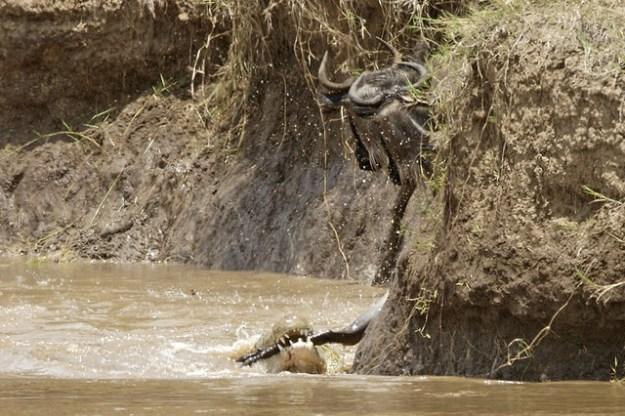 Hier hält ein Nilkrokodil ein Gnu fest und wird es bald unter Wasser ziehen.