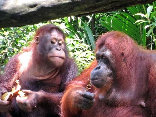 Orang Utans beim Fressen
