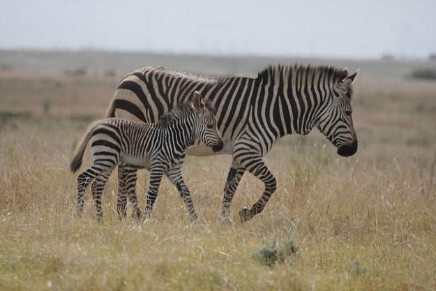 Zebrastute mit Nachwuchs