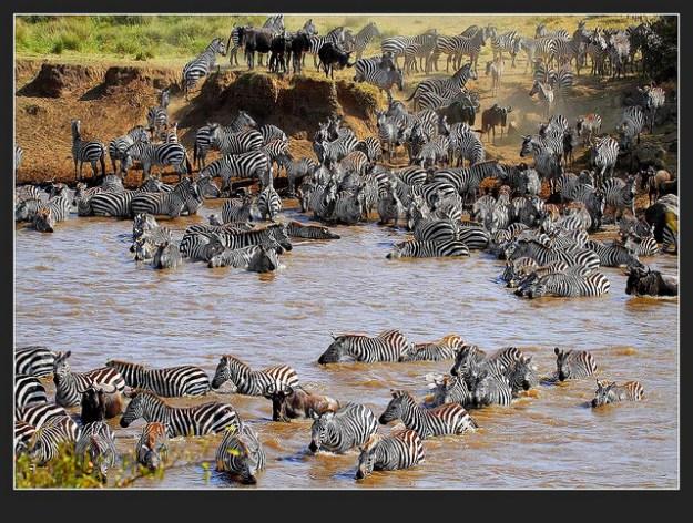 Zebras auf der Wanderung zu neuen Weideflächen