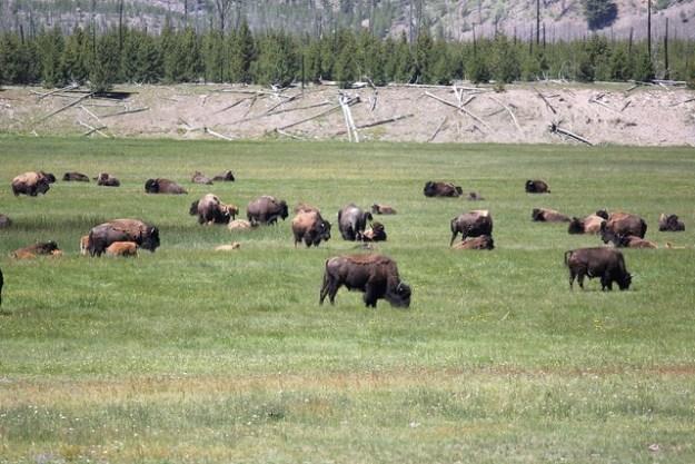 Im Yellowstone Nationalpark leben heute die meisten Bisons.