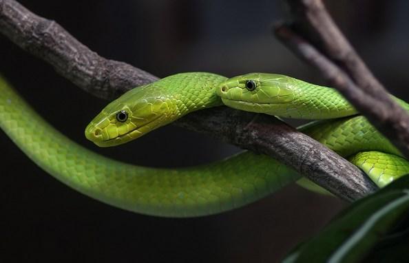 Die Mambas gehören in Afrika zu den gefährlichsten Schlangen.