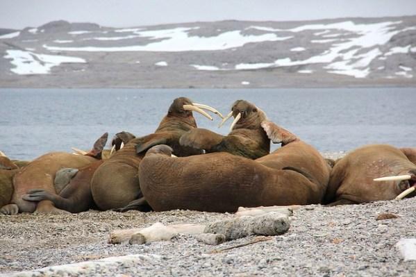 Walrösser setzen auch ihre bis zu einem Meter langen Stoßzähne ein, um sich gegen Eisbären zu verteidigen.