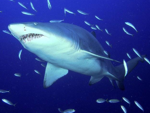 Der Sandtigerhai ist in seinem Bestand durch Bejagung gefährdet.