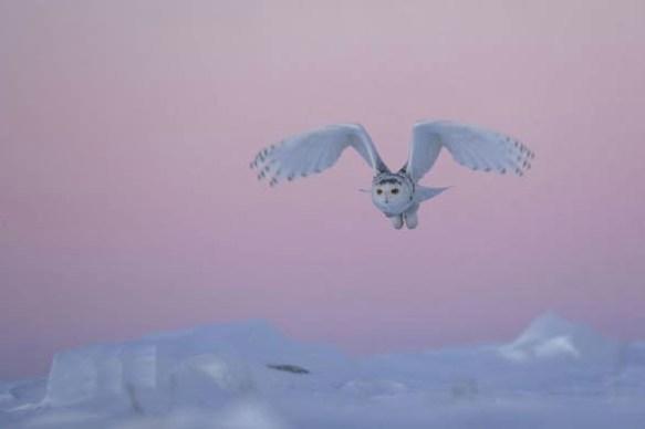 Das Federkleid eines ausgewachsenen Schnee-Eulen Männchens wird mit zunehmendem Alter fast völlig weiß.