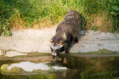Der Marderhund ist ein scheuer Bewohner von Wäldern mit viel Unterholz.