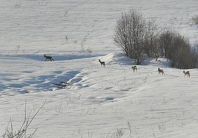 In der Winterzeit mit viel Schnee haben es Rehe schwer, an Futter heranzukommen. Die schnellste Gangart der Rehe ist der Galopp.
