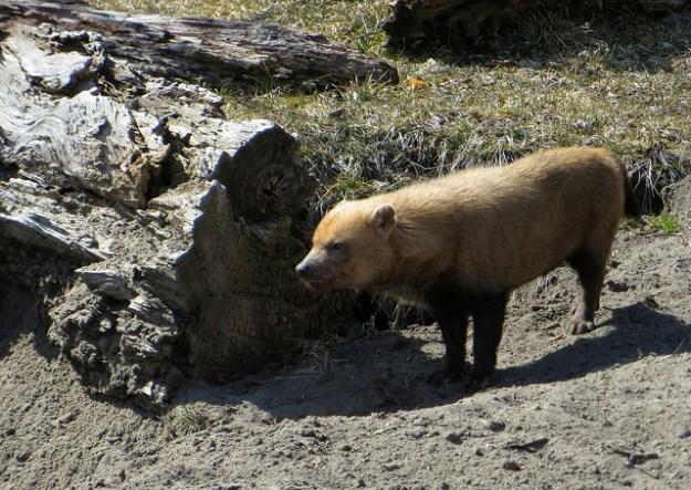 Der Waldhund ist ein seltenes Tier.