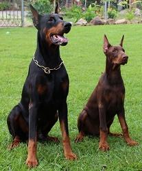 Der Dobermann für viele Hundesportarten geeignet.