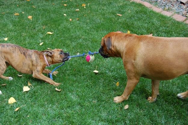 Wer ist der Stärkste? Tauziehen zweier Boxerhunde.