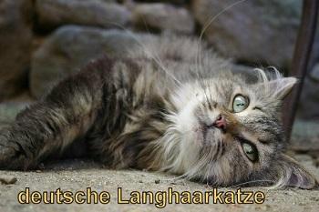 Die Deutsch Langhaar ist eine ruhige Katze.