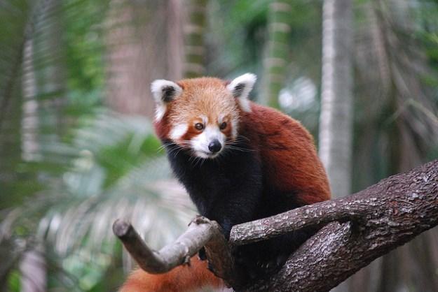 Der Rote Panda ist ein gewandter Kletterer.