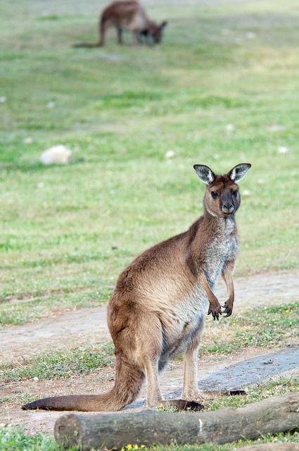 Das Westliche Graue Riesenkänguru (Verbreitungsgebiet südlicher Western Australia über South Australia bis nach New South Wales und südliche Queensland).
