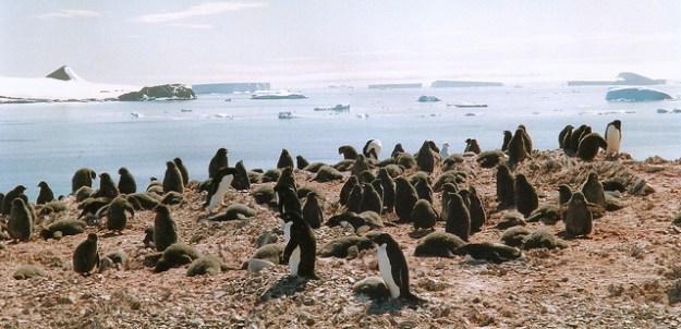 Pinguine sind gesellige Vögel und brüten in Kolonien.