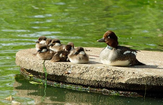 Schellenten-Weibchen rastet mit ihren Küken auf einem Ruheplatz.
