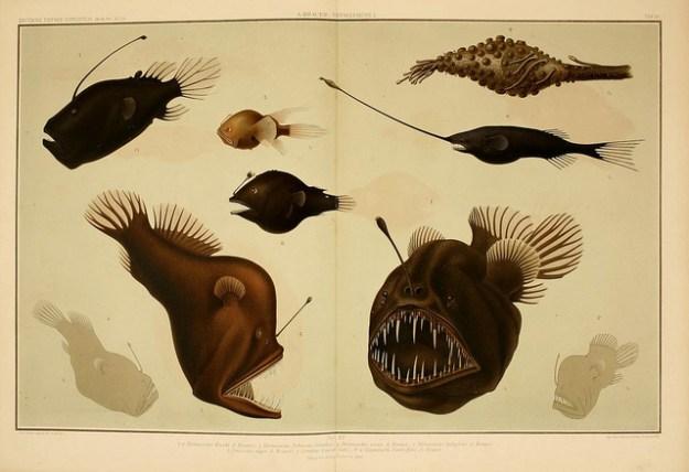 Schwarzanglerfische leben in der Tiefsee.
