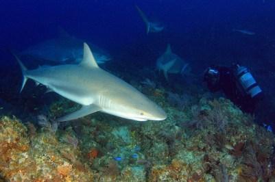 Der Taucher bekommt gleich zwei Arten von Haien vor der Kamera (Zitronenhai und Tigerhai).