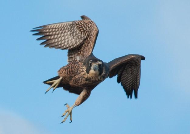 Mit dieser Flügelstellung erreicht der Wanderfalke im Sturzflug eine hohe Geschwindigkeit.