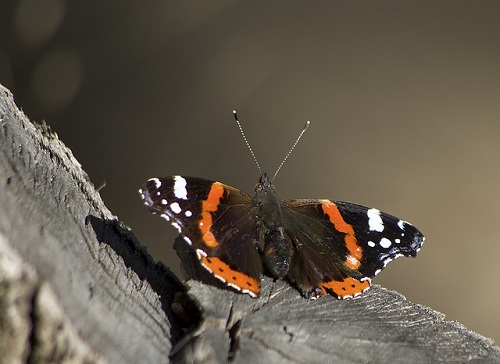Der Admiral ist ein Schmetterling aus der Familie der Edelfalter (Nymphalidae).