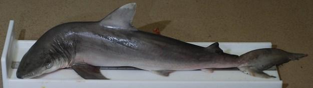 Der Schwarznasenhai ist eine harmlose Haiart.