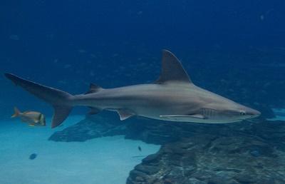 Der Sandbankhai jagt vor allem in der Nacht und in Küstennähe.