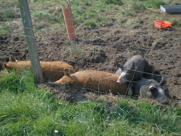 Freilandschweine mit viel Auslauf, die sich pudelwohl fühlen.