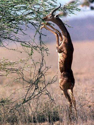 Giraffengazellen kommen auf den Hinterbeinen und durch ihren langen Hals an hohe Blätter in den Ästen heran.