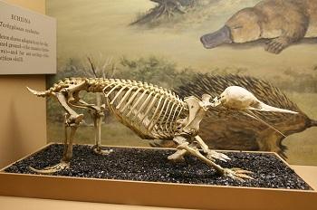 Skelett Kurzschnabeligel.