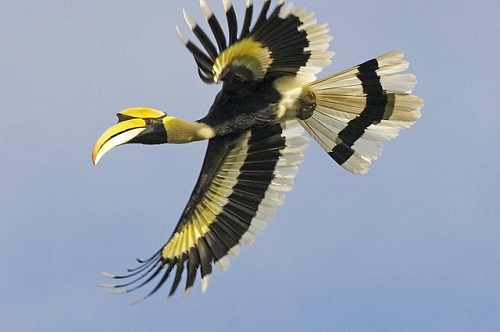 Der Doppelhornvogel kann ein Alter von ca. 40 Jahren erreichen.