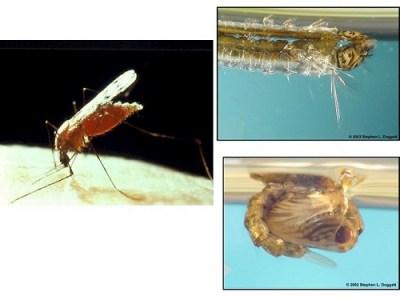 Die Anopheles Mücke benötigt zur Fortpflanzung eine Blutmahlzeit.