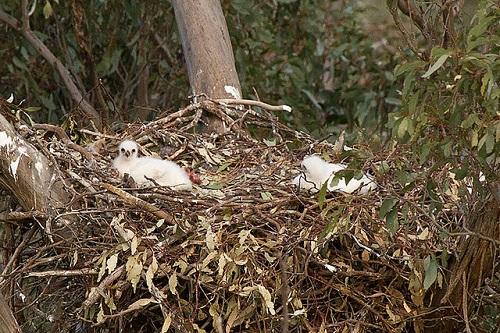 Junge Keilschwanzadler im Nest.