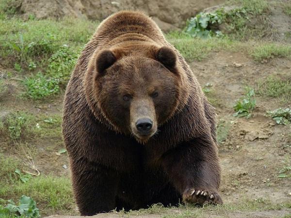 Der Kamtschatka-Bär ist gefährlich. Jedes Jahr werden Angler durch die Bären verletzt oder sogar getötet.