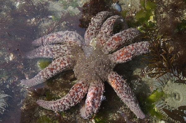 Der Sonnenblumen-Seestern (Pycnopodia helianthoides) hat eine Spannweite bis zu einem Meter. Er gehört zu den größten Seesternen der Welt.