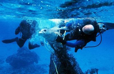 Meeresmüll Fischernetz, aus dem Netz wird eine verfangene Robbe von Tauchern befreit