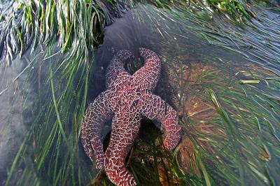Pisaster ochraceus ist eine Art der Seesterne aus der Ordnung der Zangensterne (Forcipulata), die an der nordamerikanischen Pazifikküste häufig ist.