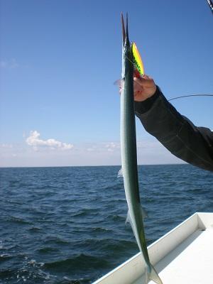 Sind die Hornhechte da, macht das leichte Spinnfischen sehr viel Spaß auf die Seeräuber.
