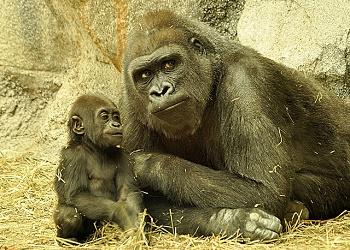 Gorillas leben in Gruppen zusammen, die bis zu 40 Tiere betragen kann.