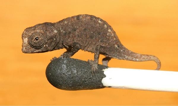 Das kleinste Chamäleon