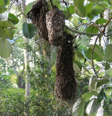 Das Nest der Gelbbürzelkassike ist im Schutz des Nestes der Waldwespen gebaut worden.