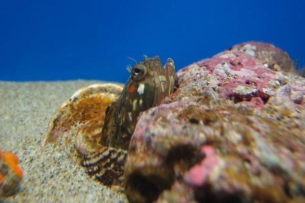 Hechtschleimfisch