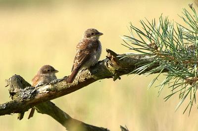 Jungvögel Neuntöter