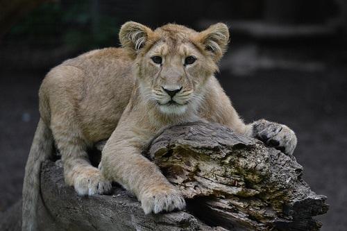 Persischer Löwe
