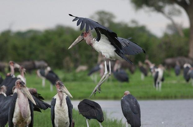 Marabu Vogel