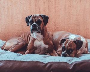 Deutscher Boxerhund
