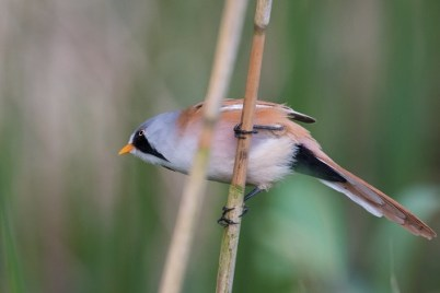 Singvogel Bartmeise