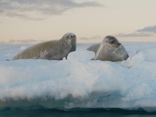 Robben in der Antarktis.