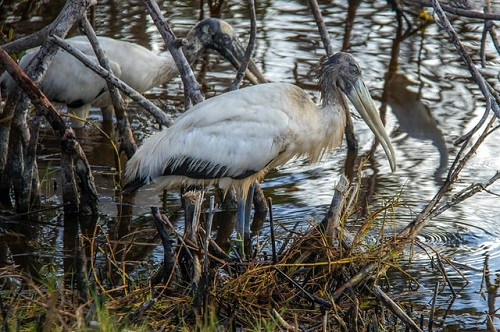 Vögel Everglades