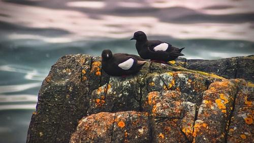 Zugvögel Britische Inseln